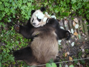 Here's a panda, just because.